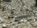 img_4233-rock-goby